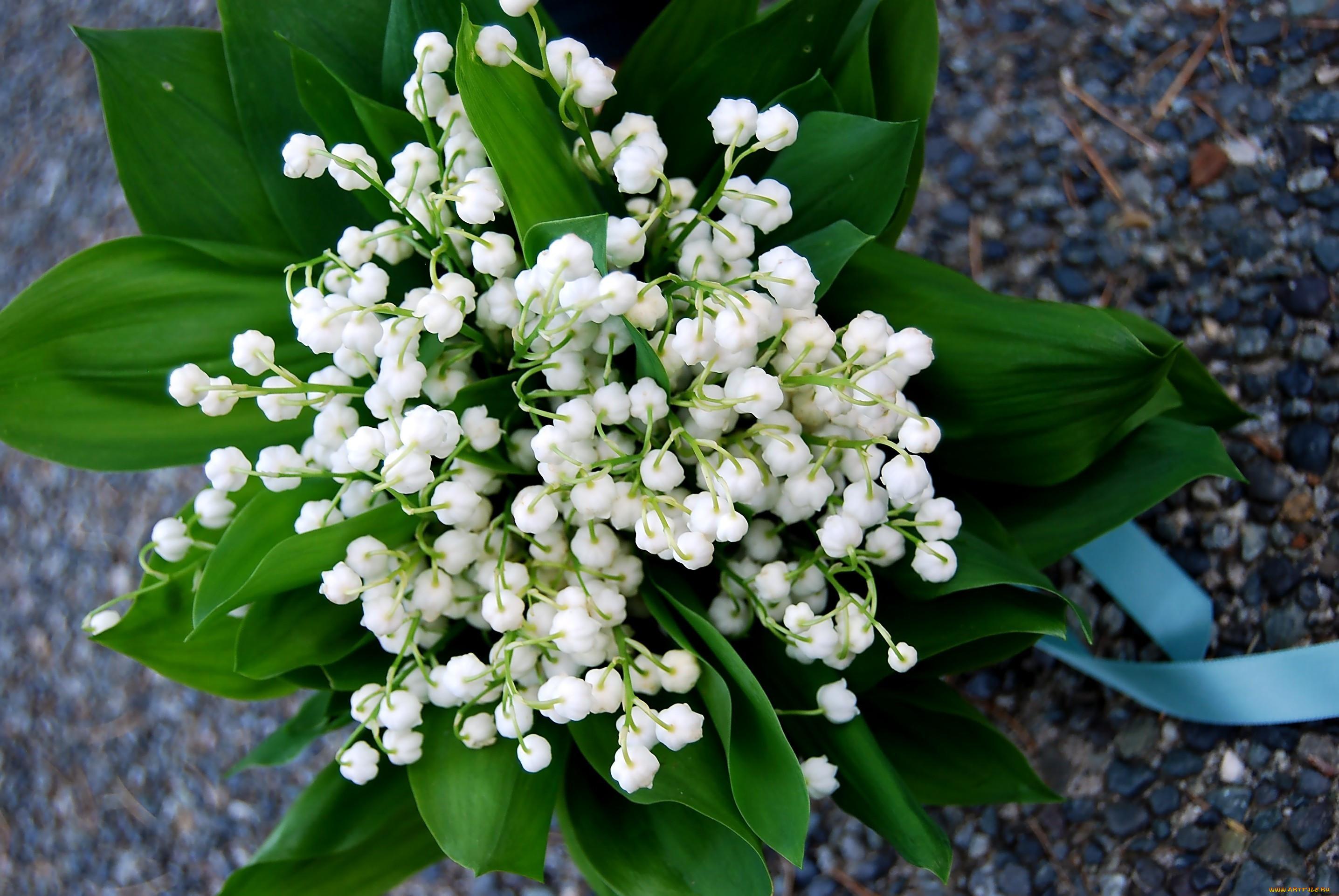 Фото картинки цветы ландыши